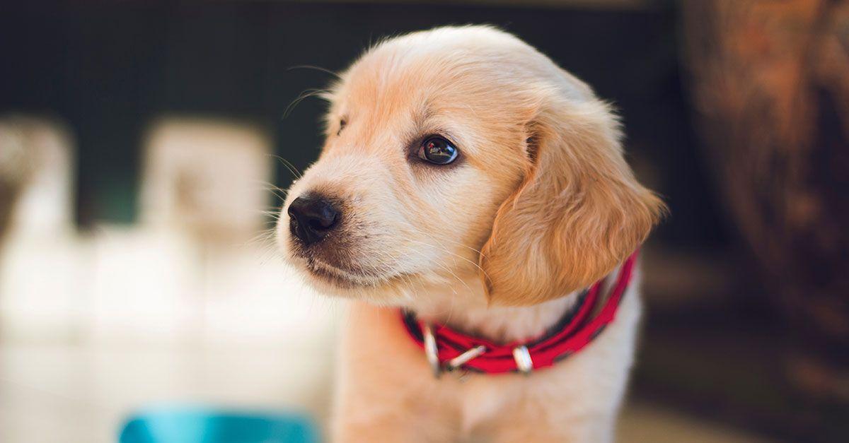 Mejores collares antiladridos para perros pequeños